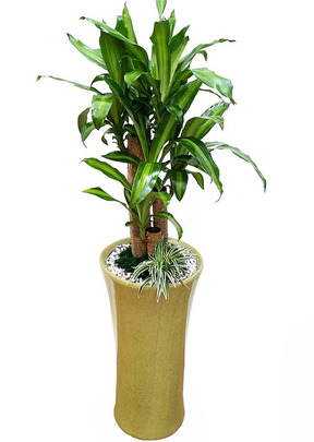 칼라행운목-실내관엽식물