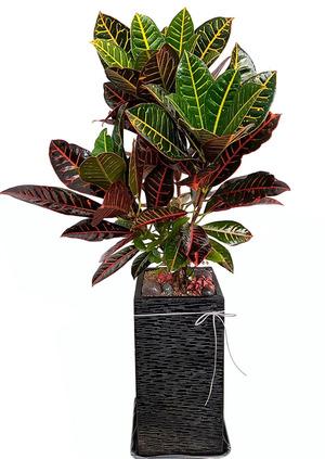 잎크로톤-개업화분배달