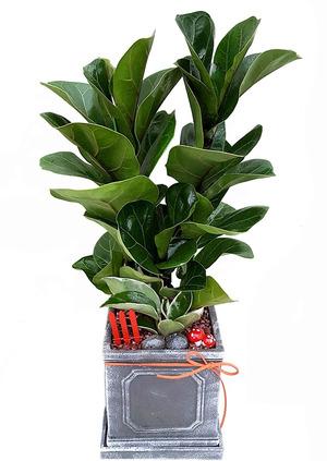 떡갈고무나무-받침세트