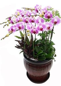 호접란-연핑크 사무실개업선물