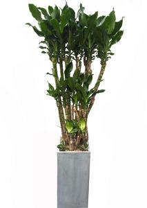 황금죽-사각 실내공기정화식물