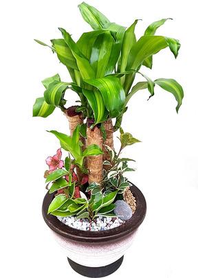 행운목-원형낮은분 실내식물