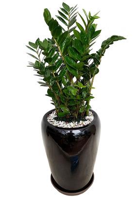실내공기정화식물 금전수