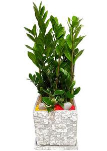 돈나무-개업선물화분