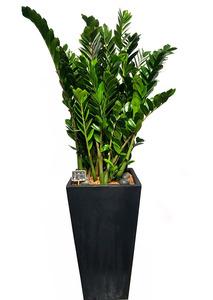 금전수-실내공기정화식물