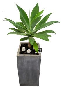 아가베-실내관엽식물