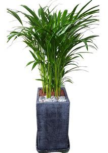 아레카야자-실내관엽식물