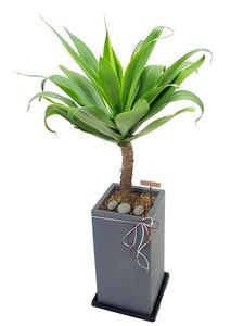아가베-실내공기정화식물