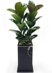 소피아고무나무-실내식물