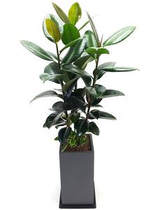 고무나무 화분배달
