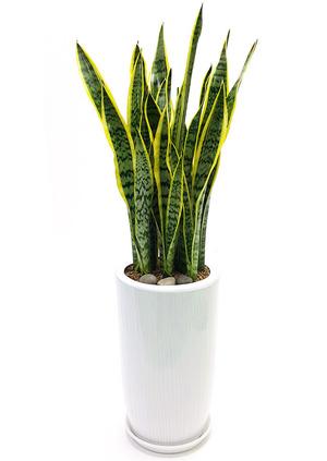 실내공기정화식물 산세