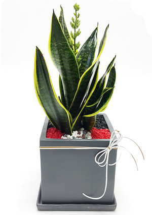 슈퍼바 공기정화식물