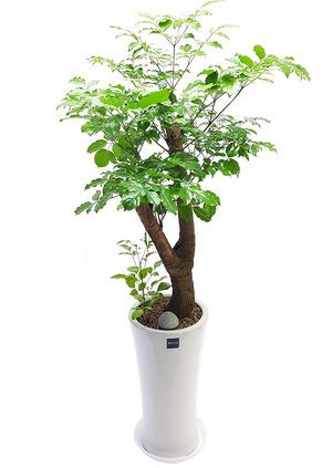 실내공기정화식물 행복나무
