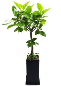 까페개업선물 뱅갈나무