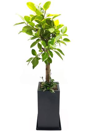 뱅갈고무나무 개업화분