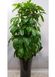 실내공기정화식물 대엽홍콩