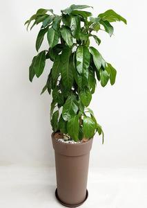 공기정화식물 원형대엽홍콩