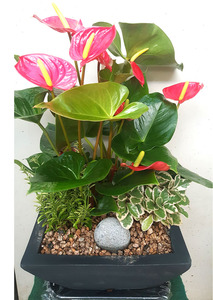 공기정화식물 안스리움