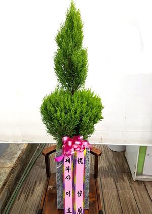 개업축하선물 율마기둥