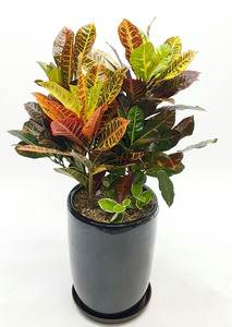 대박기원선물 잎크로톤
