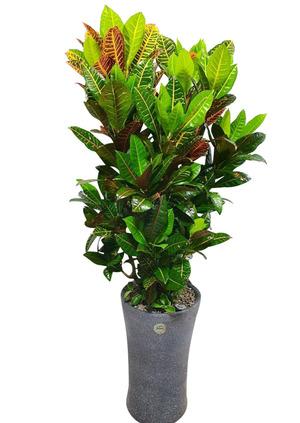 기념일선물 잎크로톤