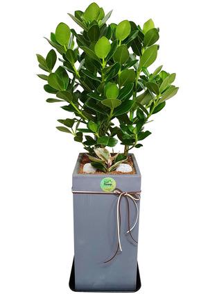 공기정화식물 쿠르시아