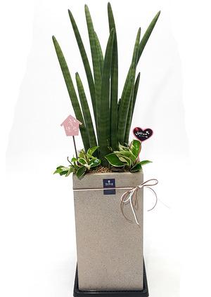 스투키 실내공기정화식물