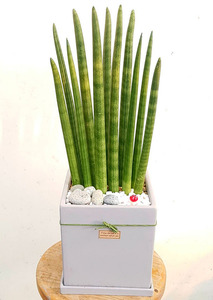 스투키 공기정화식물