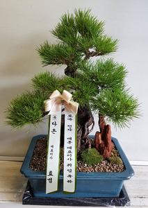 취임축하선물 소나무분재