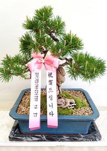 영전축하선물 소나무분재