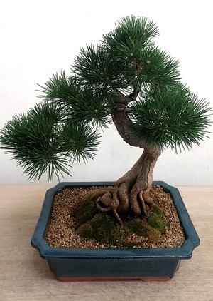 승진취임선물 소나무분재