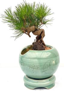 생신축하선물 소나무도자기분재
