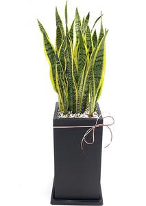 산세베리아 출산축하선물