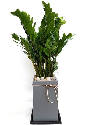 금전수 실내인테리어식물