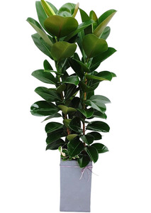 인도고무나무 대