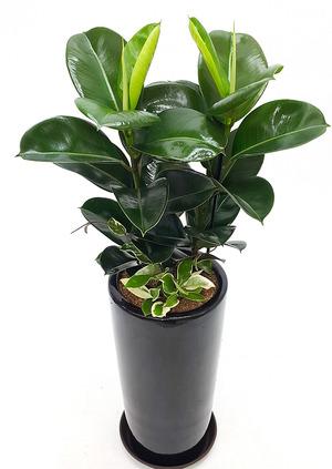 개원축하선물 인도고무나무