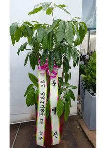 대엽홍콩가지 개업축하화분