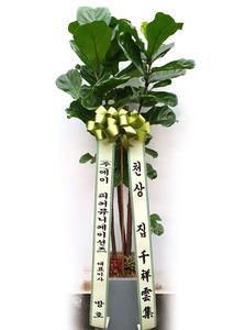 축하선물 떡갈고무나무