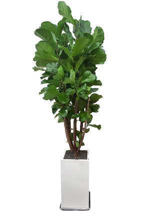 개업화분 떡갈고무나무