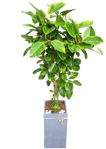 인테리어식물 뱅갈고무