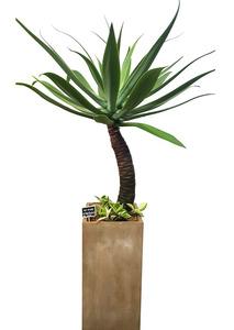실내공기정화식물 아가베