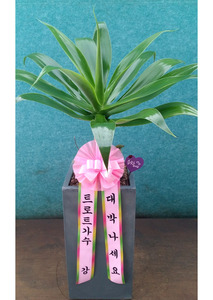 대박기원선물 아가베