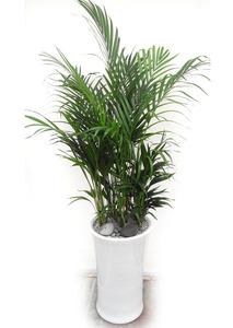 실내공기정화식물 아레카