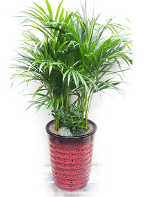 실내인테리어식물 아레카