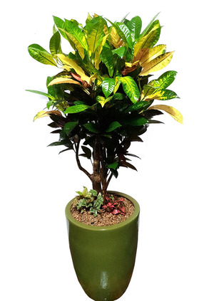 실내인테리어식물 크로톤