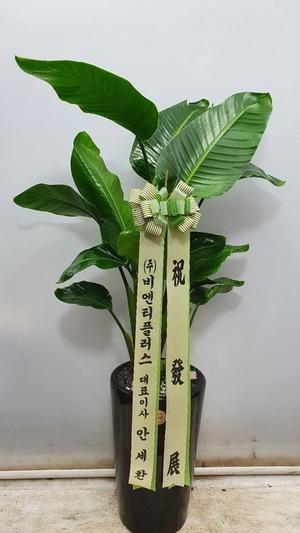 관엽식물(실내사무실&가정) 극락조