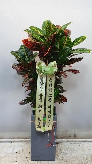 관엽식물(실내사무실&가정) 잎크로톤