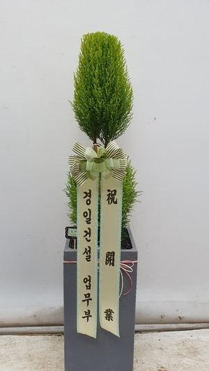 관엽식물(실내사무실&가정) 율마