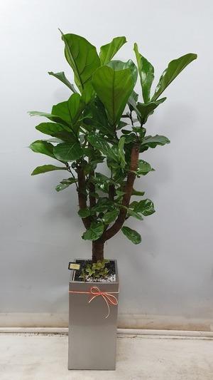 관엽식물(실내사무실&가정) 떡갈고무나무