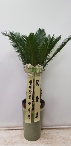 관엽식물(실내사무실&가정) 소철